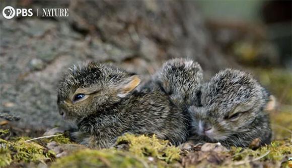 ノウサギの赤ちゃん