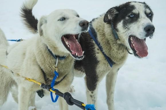 sled-dogs-363718_640_e