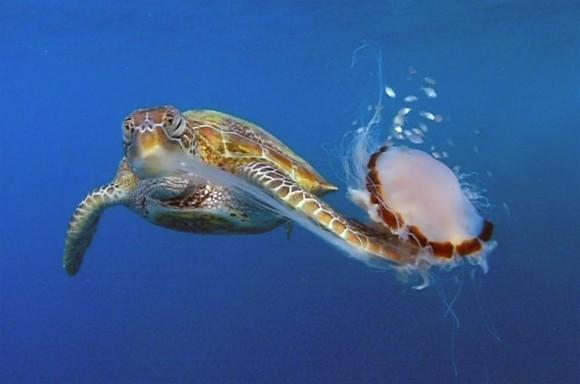 クラゲを空手チョップ!ウミガメは手のように器用にヒレを使う(米研究)