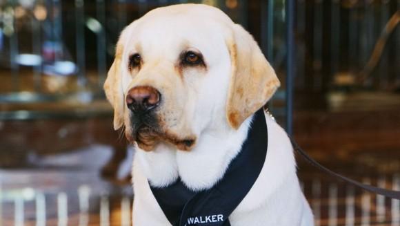 お客様、お散歩ですか?ご一緒します。オーストラリアのホテルで犬のコンシェルジュを採用