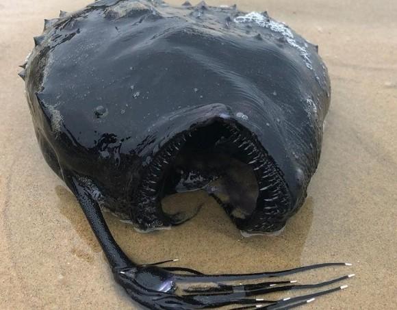 深海魚、チョウチンアンコウが海岸に打ち上げられる
