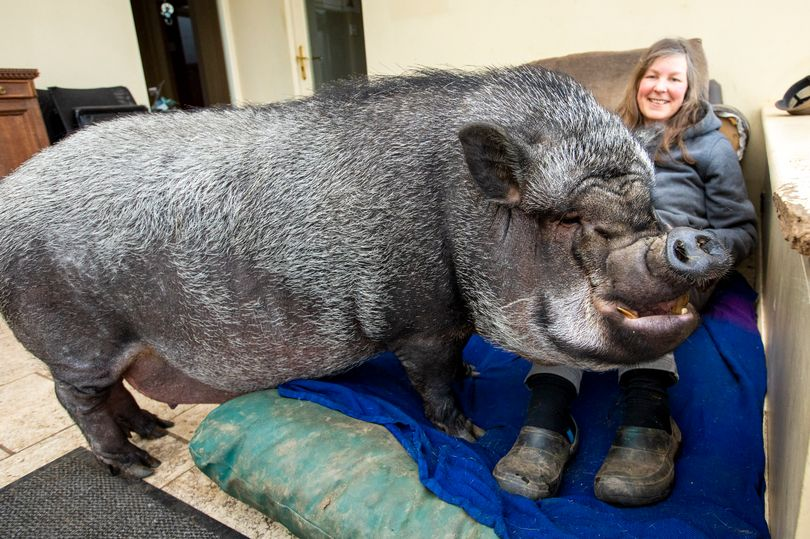 ミニブタだと言われて飼った豚が100キロを超えた件(イギリス)