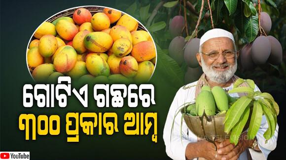 300種のマンゴを実らせる木がインドに存在する