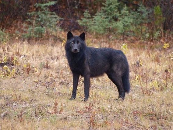 wolf_45