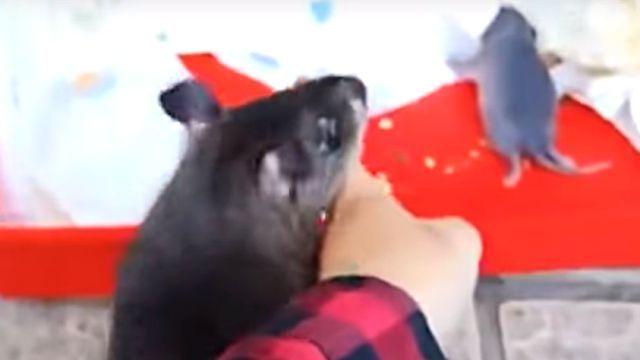 「赤ちゃん生んだの!見て見て!」と飼い主の指を引っ張るアフリカオニネズミのお母さん
