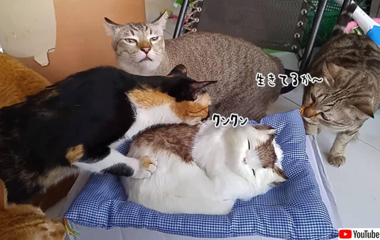 猫が猫のぬいぐるみの生体確認