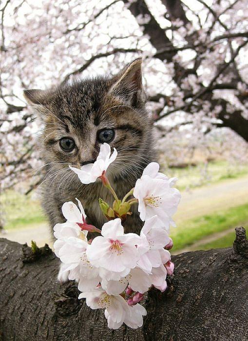 cherry_blossom_tree_cats_04