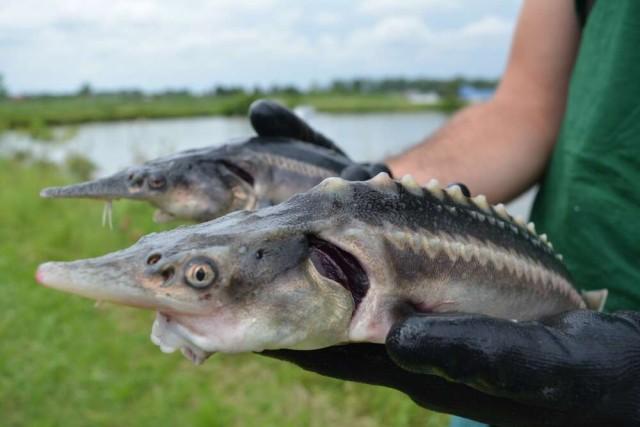 2種の絶滅危惧種をかけ合わせたところ、はからずもハイブリット魚が誕生してしまったようだ(ハンガリー)