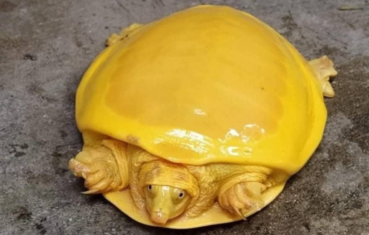 全身黄色の珍しい亀が発見される