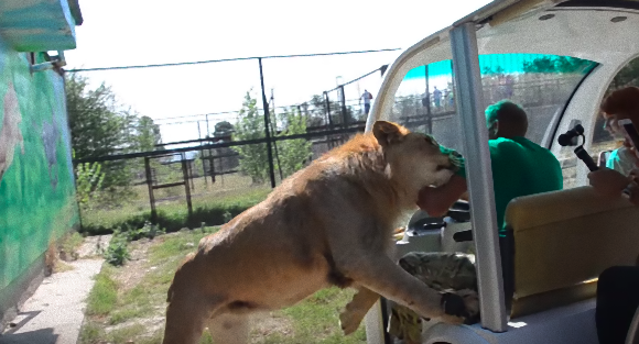 lion2_e