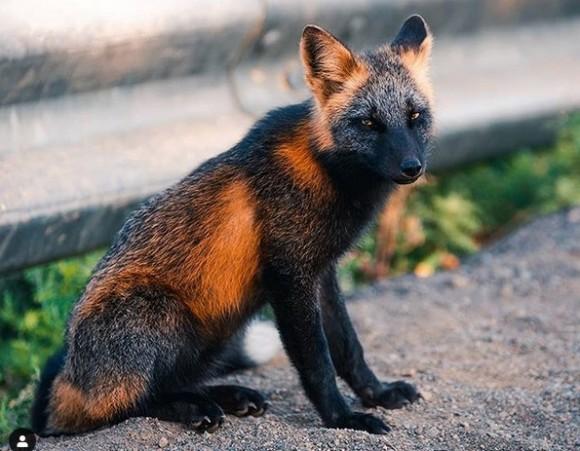 毛色の変わったアカギツネ。黒とオレンジの模様が可愛いクロスフォックス(カナダ)