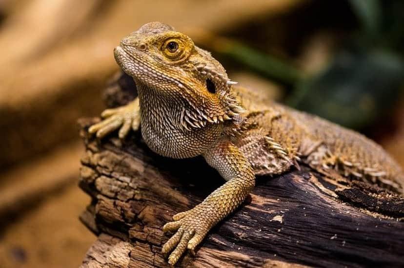 lizard-1522253_640