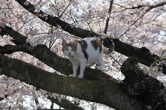 cherry_blossom_tree_cats_08