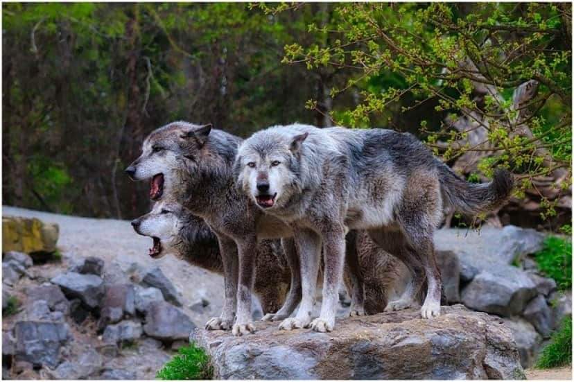 wolves-4774219_640