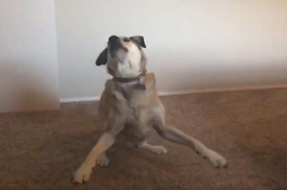 「散歩に行きたい?」と聞いた時の犬の反応がドラマチックすぎた