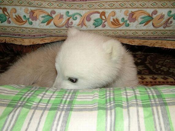 polarbearbabysaved-22