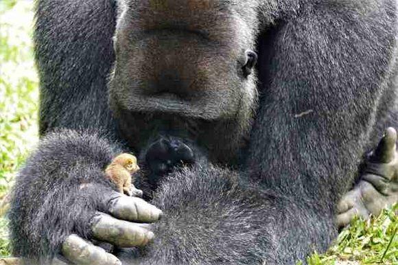 シルバーバックの大きなゴリラの親友は、その指先ほどの小さな動物。やさしくいたわり一緒に遊ぶ(カメルーン)