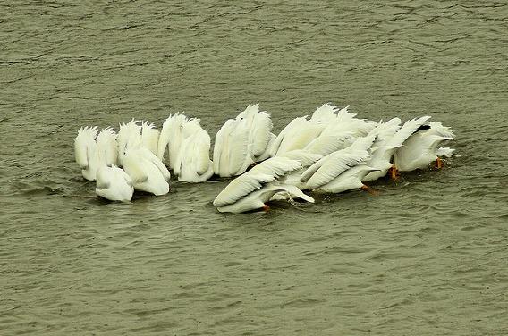 synchronized swimming animals 11