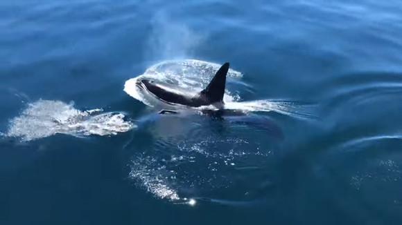 シャチの情けか?気まぐれか?それともお腹がすいていなかった?シャチとイルカが仲良く一緒に泳いでいた件(アメリカ)