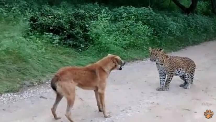 leopardvsdog2_e