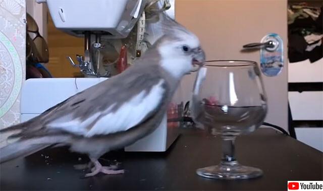 つねに重力を感じていたい鳥。置いてあるものは全て落とす、落しまくるインコ