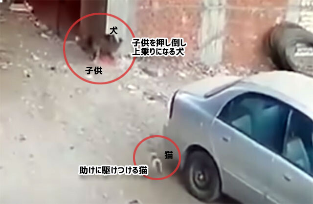 またしても猫のヒーロー、犬に押し倒された子供を助けるため、犬に飛び掛かり注意を自分にひきつけた猫
