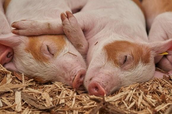 豚を抱っこしてくれる人募集中!放棄された豚に人間への信用を取り戻させる試み(アメリカ)