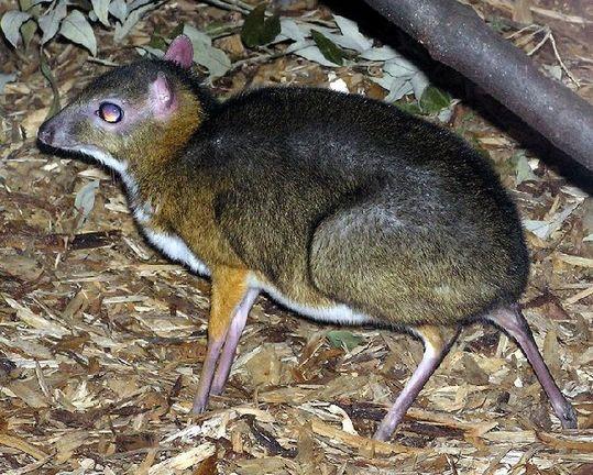 mouse_deer_16