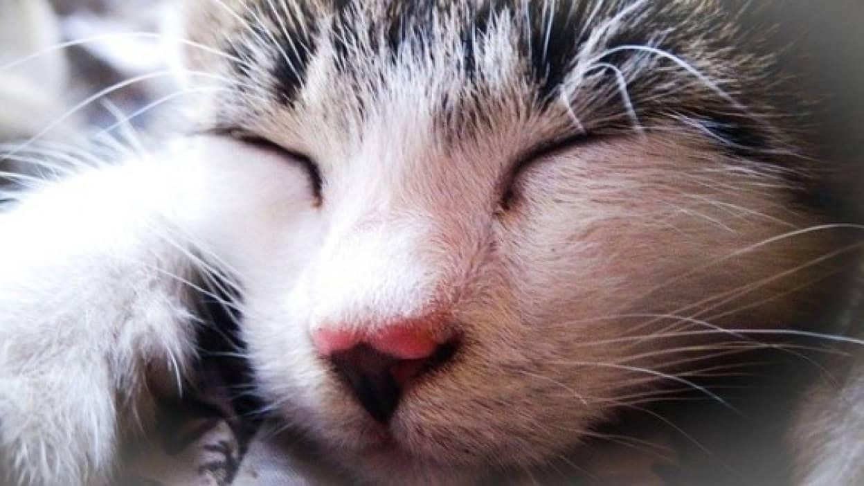 猫はなぜ飼い主が寝ていると足元で眠るのか?