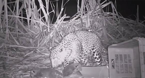 置き去りになっていた3匹のヒョウの赤ちゃんが人間の手を借りてやっと母親と再会。その瞬間の記録映像(インド)