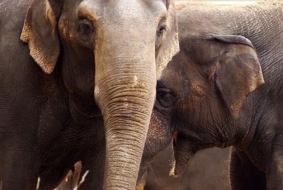仲間の死を悼む象、遺体が腐った後もずっと関心を持ち続けている(米研究)