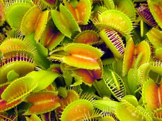 venus-fly-trap-plants