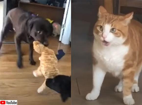 おまえらなんてこと!猫のぬいぐるみを引きちぎろうとしている2匹の犬に対する猫の反応