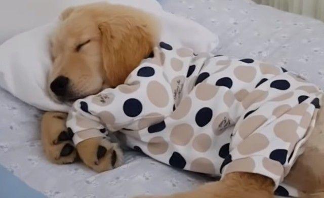 破壊力マックスの可愛さよ!すやすやおねむの子犬の寝顔に癒されたい人集まれ!