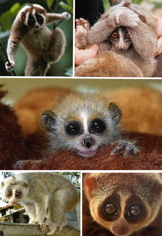 Poisonous-Slow-Loris