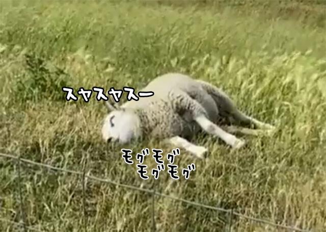 眠りながら食べる羊