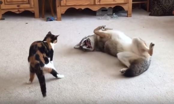 遊んでほしくて。飼いならされたコヨーテ、大好きな猫の攻撃になすがまま