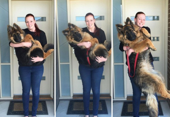 Кане корсо Cane Corso  описание породы собаки фото