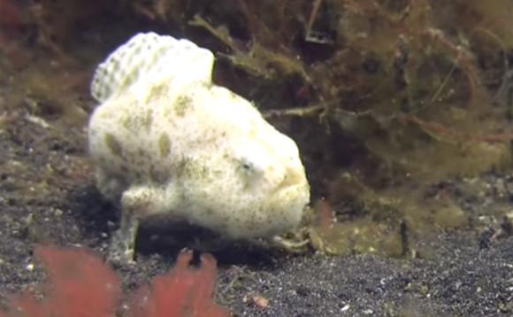 すたこらサッサ、ほいサッサ。海底を歩く姿が愛くるキュートなカエルアンコウのお通りでぃ!
