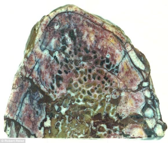 骨付き肉ならぬ肉付き骨!タンパク質が完璧に保存されている1億9,500万年前の恐竜の肋骨が発見される