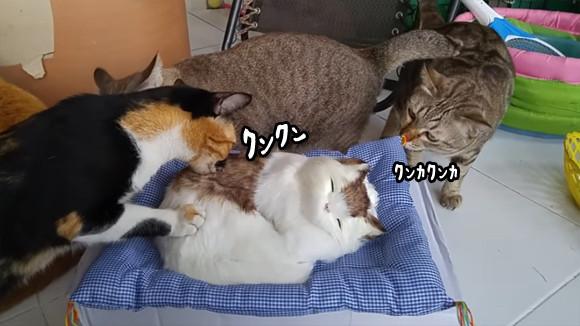 仲間?猫のぬいぐるみに興味津々な猫ズ。だが突如訪れたその衝撃に一同パニック