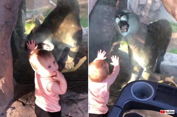 うまそうなのキタ!赤子に近づきガラス越しからなんとか食べようとするピューマ。