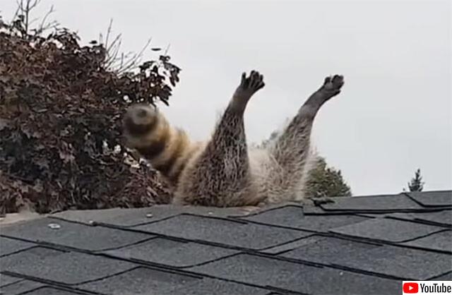 アライグマ、屋根に刺さる。あらゆる工具を使い救出に成功