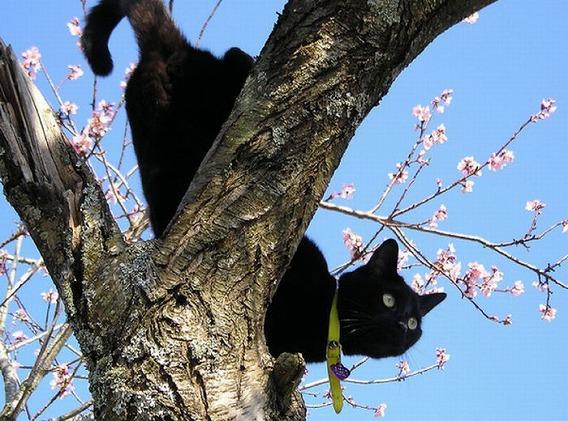 cherry_blossom_tree_cats_15