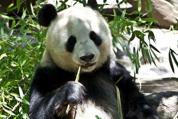 panda-214260_1280_pixabay_e