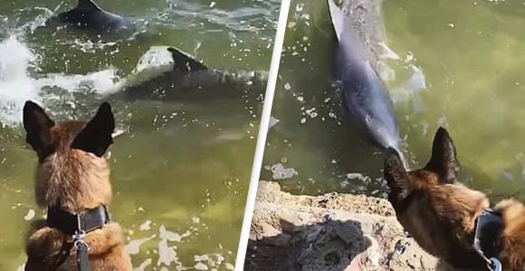 警察犬がイルカのカップルと仲良しに、水陸を挟んで仲良く追いかけっこ(オーストラリア)