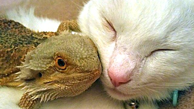 05-bearded-dragon-cat-friendship-664x859_ea