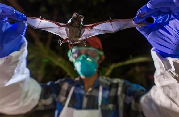ミャンマーのコウモリから未知のウイルスが発見される