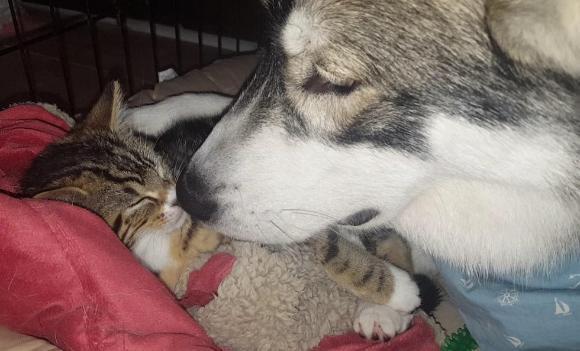 ひとりぼっちが寂しくて・・・不安分離症のハスキー犬の救世主は小さな子猫。四六時中ぺたりんこ(イギリス)