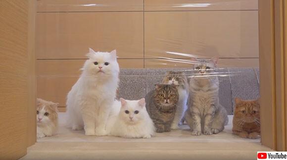 30回再生余裕。ただただかわいい、個性豊かな7匹の猫たちの見えない壁に対する反応
